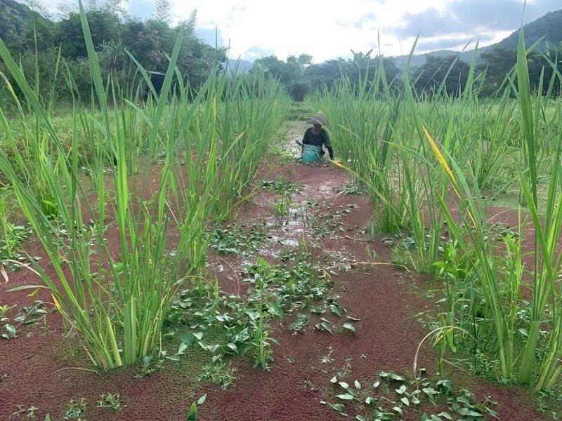 雙連埤水生植物豐富,還有友善耕種的茭白筍。 圖/羅東林管處提供