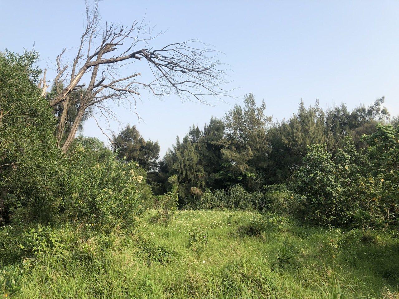 附近防風林在過境其,提供鵐科、鶇科野鳥躲藏。 圖/曾健祐 攝影