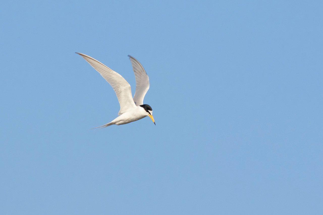 夏候鳥小燕鷗每年都會到許厝港報到,公鳥叼小魚餵食向母鳥獻殷勤。 圖/曾健祐 攝影