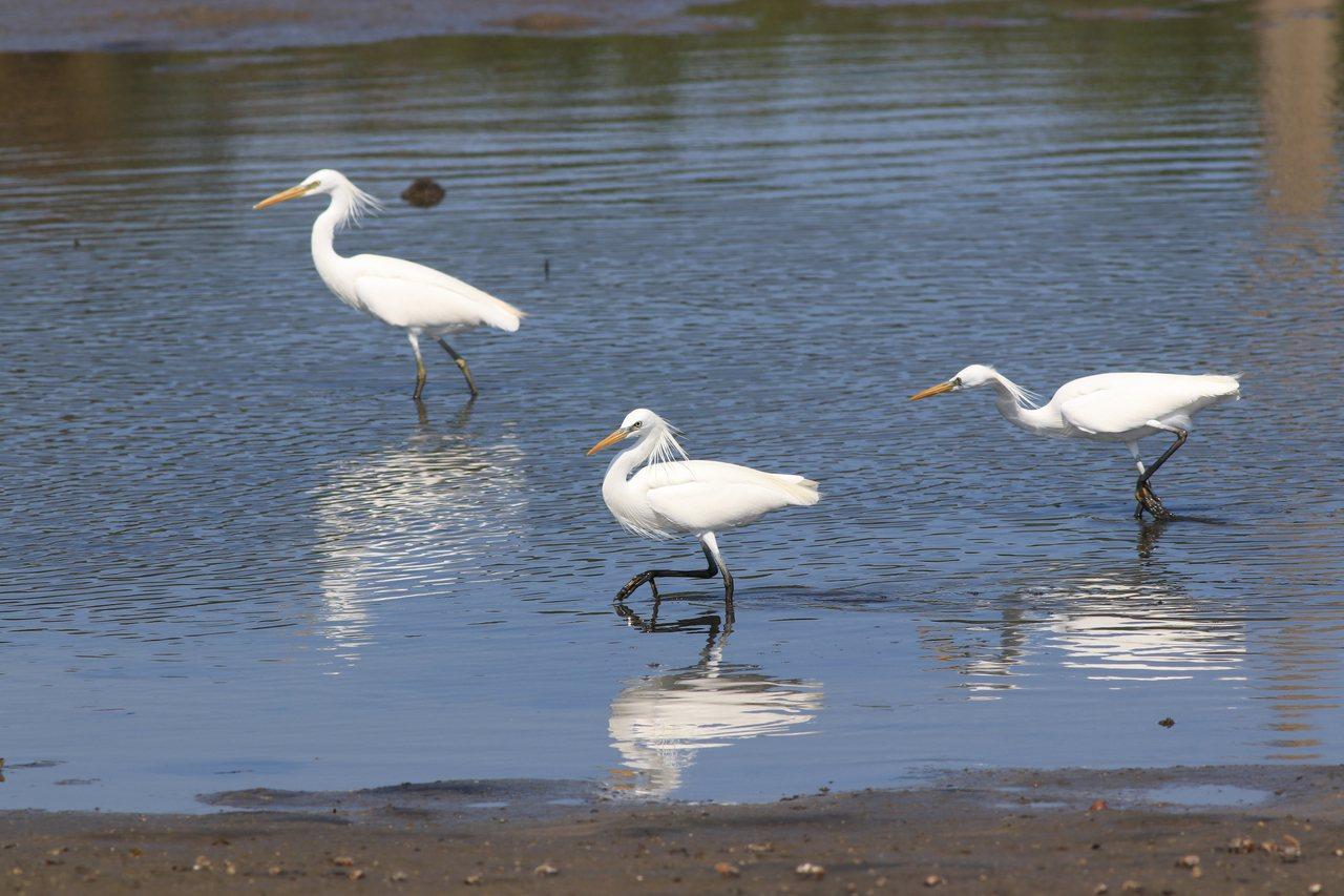 唐白鷺是頭後整搓飾羽,眼先則呈現淡藍色、鳥喙黃色是辨識重點。 圖/曾健祐 攝影