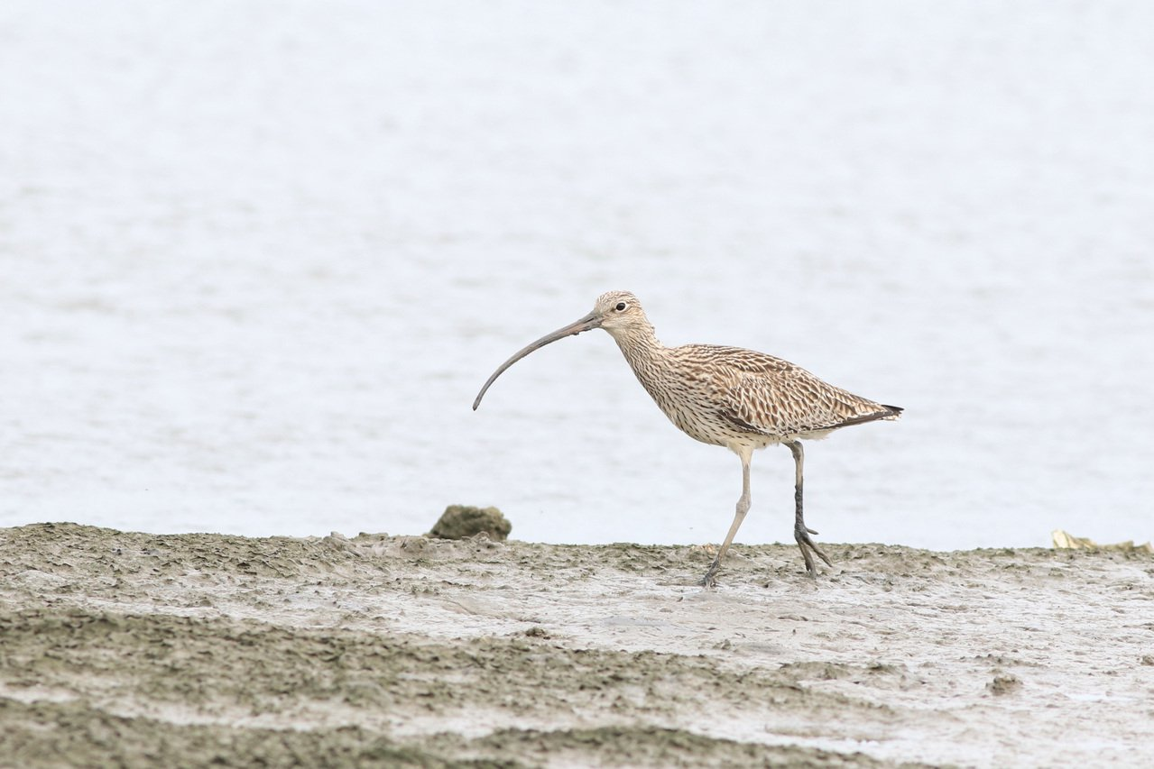 黦鷸屬於稀有過境鳥,長且彎的鳥喙相當好辨認。 圖/曾健祐 攝影