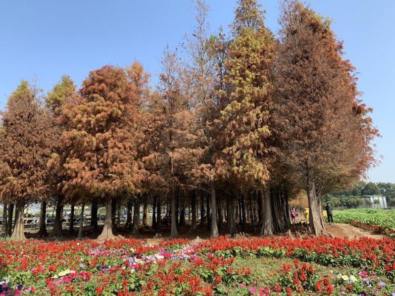 近年全台都有種植落羽松步道,也有一堆「秘境」。圖/聯合報系資料照片