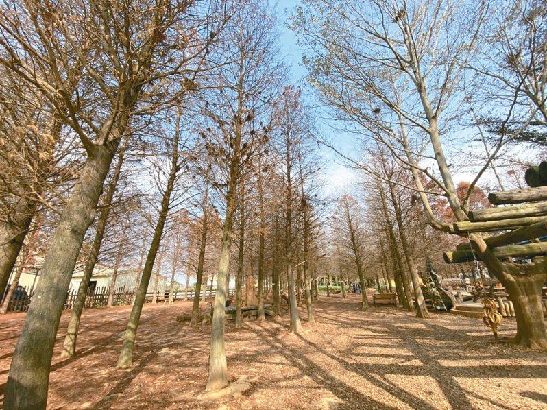 落羽松四季變化大,深受民眾喜愛,冬季時的蕭瑟之美更是吸引不少遊客。圖/聯合報系資料照片