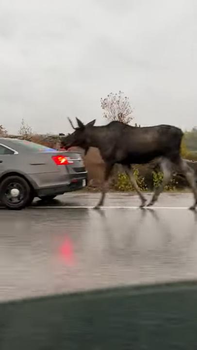影/駝鹿誤闖高速公路 暖心警慢速行駛為牠開路回家