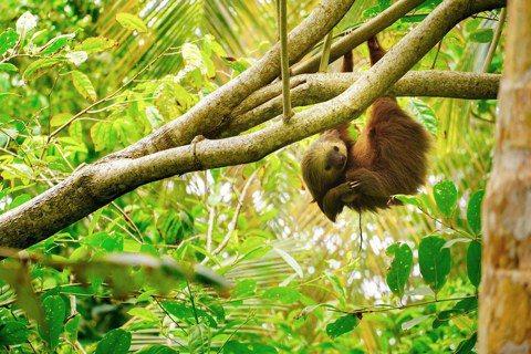 科學家在樹懶毛髮上找到的真菌,可用於對抗寄生蟲、細菌和癌症。  圖/Unspl...