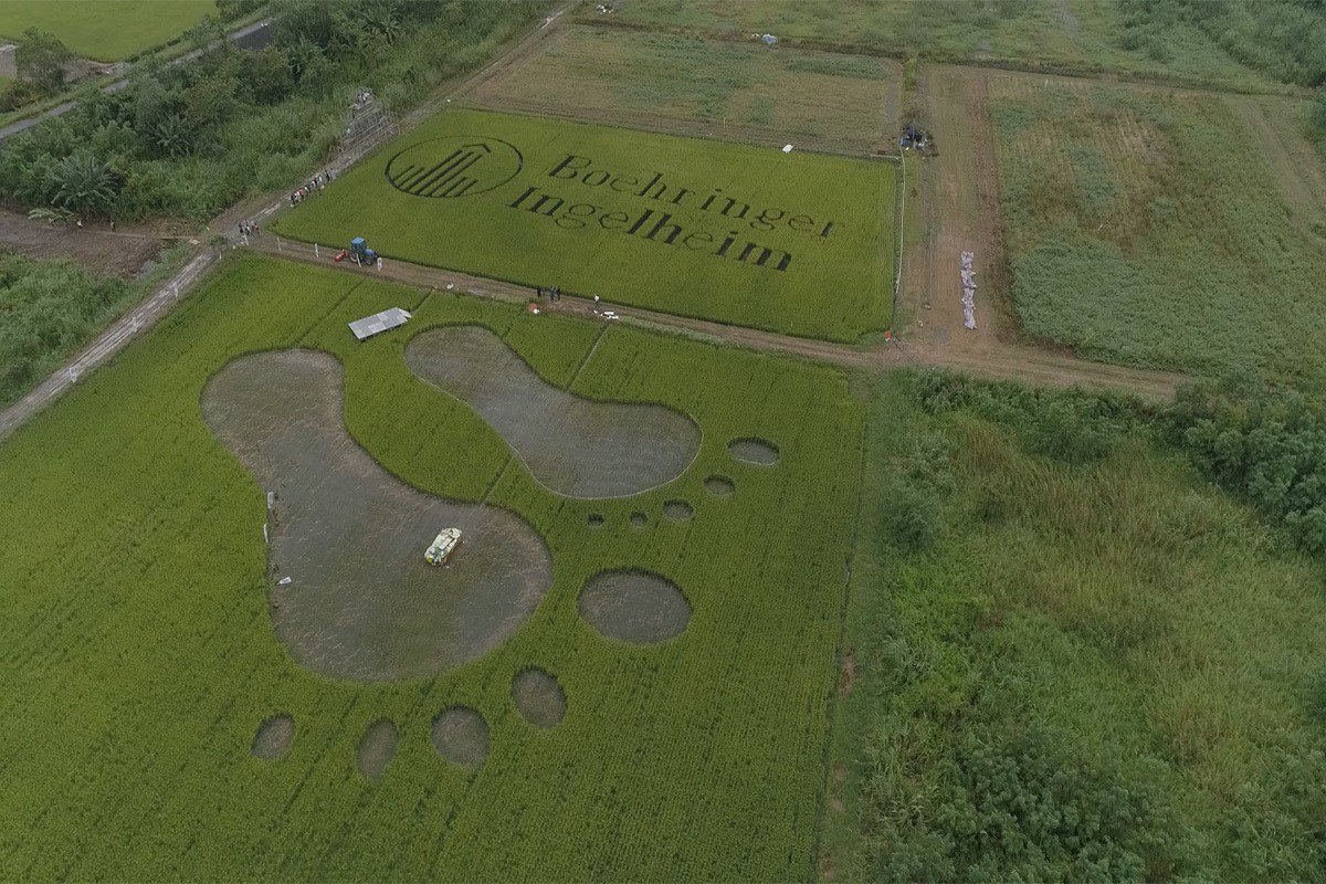 百靈佳殷格翰與小農合作,放樣割稻企業標誌,帶來地方文化與企業活動結合的創新。
