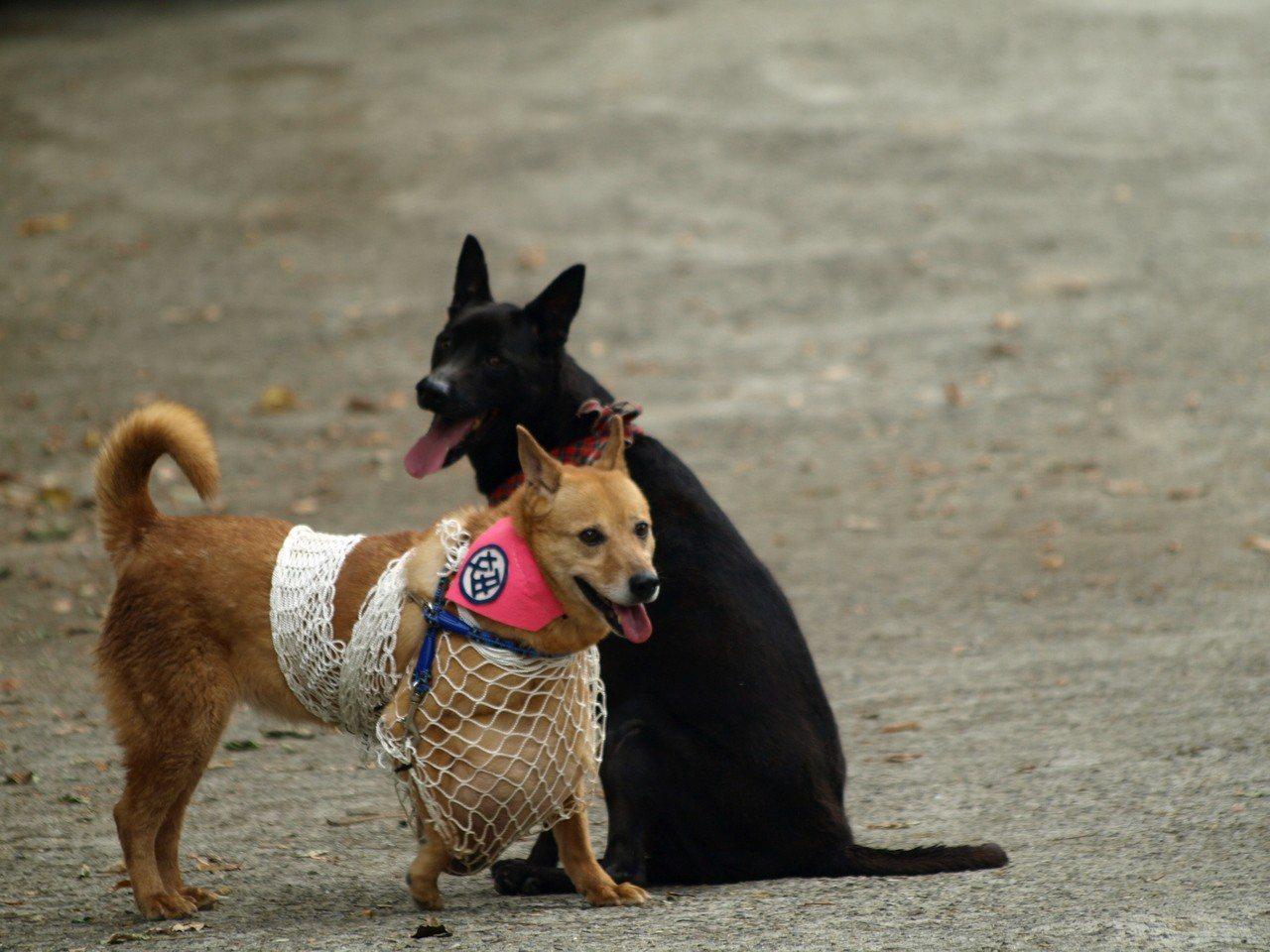 流浪犬妞妞原本長了一顆大腫瘤,出院醫療後,成為家庭新成員(Claire 提供)