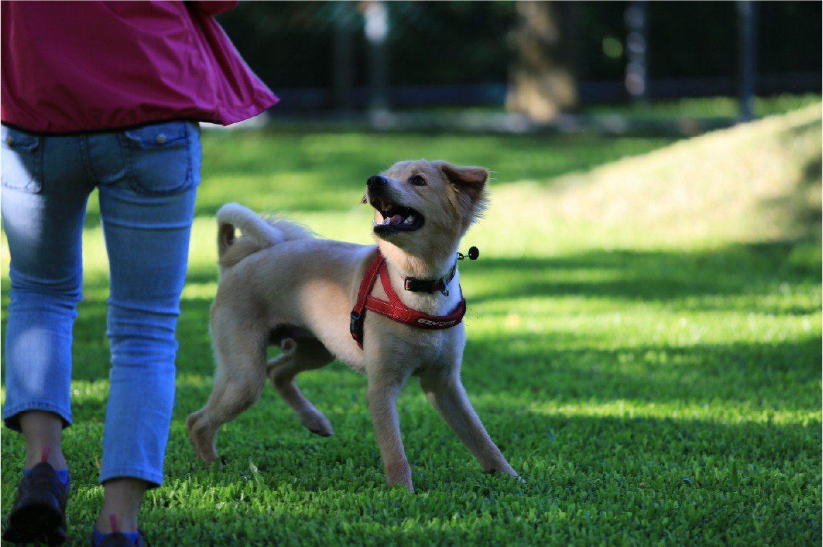 愛犬麻吉在飼養過程遭遇種種問題,現在已順利送養到國外(照片:筱珍提供)