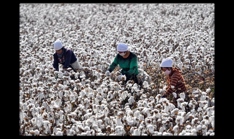新疆沙雅縣古勒巴格鎮棉農正在採摘棉花。新疆棉花產量約占全中國的85%。(中新社)