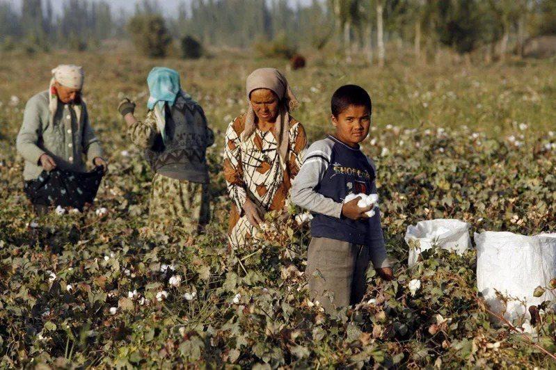 圖為新疆維吾爾族民眾在維吾爾自治區一處棉田採收棉花。(歐新社)