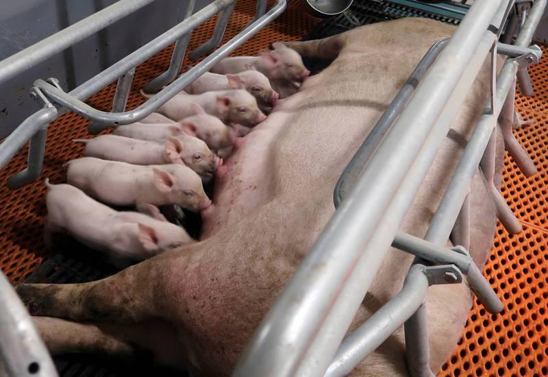 中國的非洲豬瘟疫情尚未平息,而今年首季爆發的疫情,已造成中國北方養豬業的種豬數量至少大減20%。圖為豬隻示意圖。(路透)