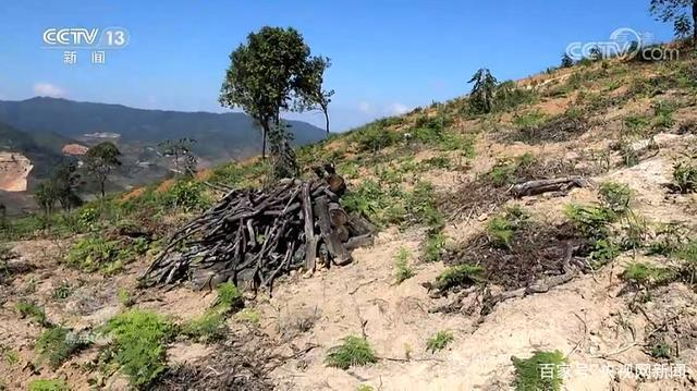 雲南西雙版納猛海縣布朗山鄉出現了毀林種茶的現象。(取材自央視網)