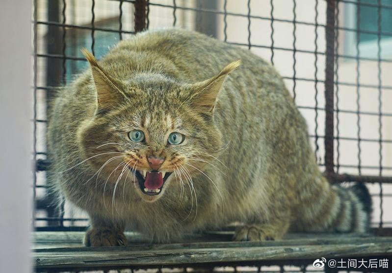 荒漠貓左前肢因粉碎性骨折,獸醫最終決定為牠截肢。(取材自微博)