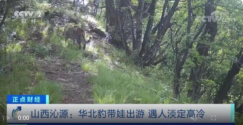 太行山脈的華北豹在山西省沁源縣的花坡風景區現跡,被人當面遇上,一頭母豹攜帶著幼崽全程淡定且高冷。(央視截圖)