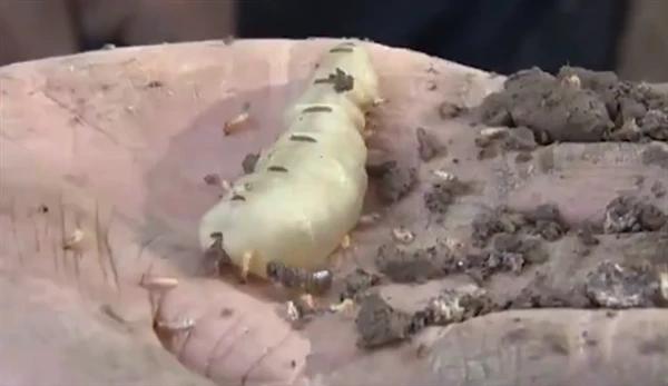 超大蟻穴裡挖出一對蟻王、蟻后,蟻后體長5公分。圖/影片截圖