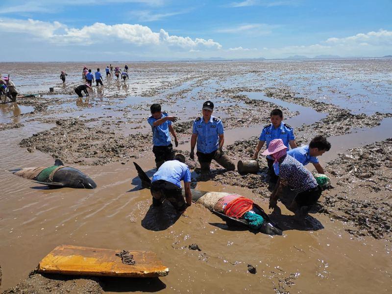 12隻瓜頭鯨在浙江台州海域擱淺。(取材自臨海市委宣傳部)