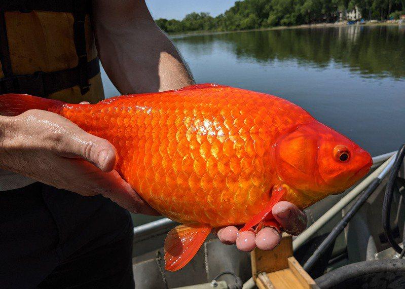 明尼蘇達州凱勒爾湖(Keller Lake)出現被放生後體積異常變大的巨無霸金魚,嚴重影響水質及湖中生態。(取自勃恩斯維爾市府推特帳號)